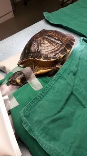 Schildpad klaar voor operatie