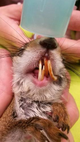 Snijtanden eekhoorn bijvijlen