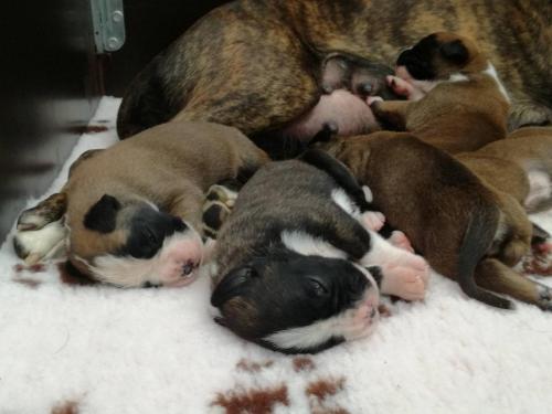 Boxer puppy's