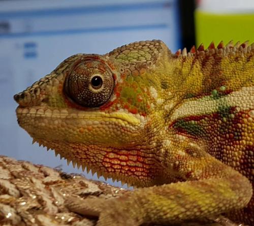 Kameleon op bezoek bij de dierenarts !