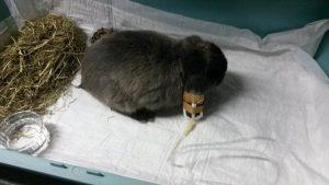 Gehospitaliseerd konijn aan infuus