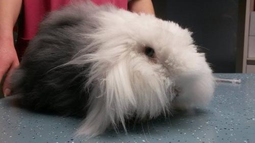 Langharig konijn