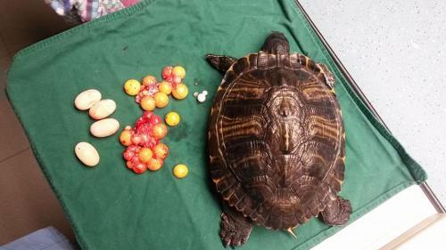 Schildpad met eieren (legnood) verwijderd na sterilisatie