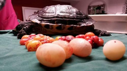 Schildpad met haar eieren na sterilisatie