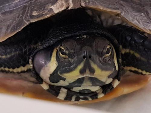 Schildpad met een binnenoorontsteking